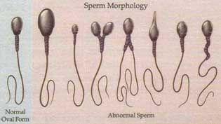 When Does A Male Dog S Sperm Have Motility